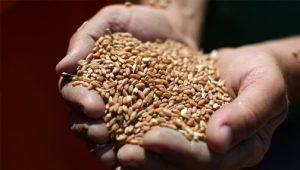 Стало известно о предложении ввести предельные цены на зерно и макароны