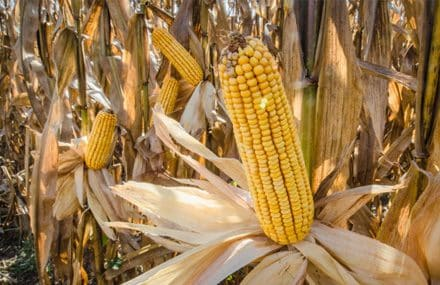 Рынок коммодитиз - кукуруза, пшеница